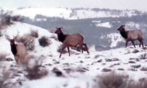 sidebar-gallery-tom-berry-elk